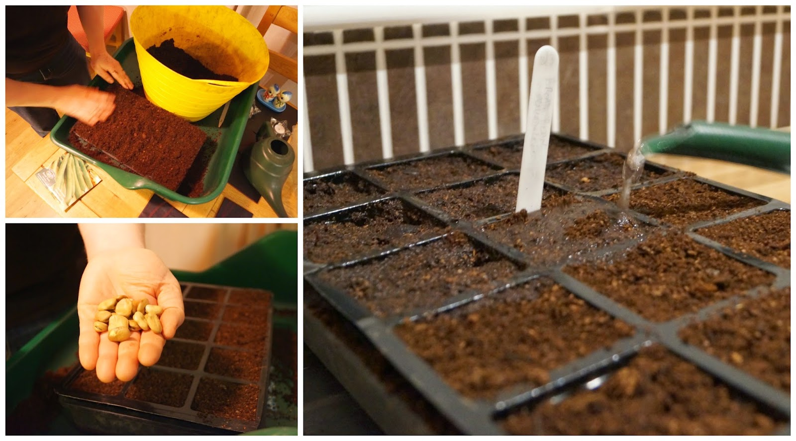 planting the broad beans ~ growourown.blogspot.com