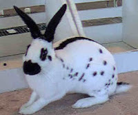 Jenis-jenis Kelinci English Spot