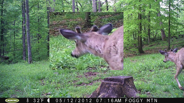 A blown up shot of what looks to be a young, double main beam buck in velvet.