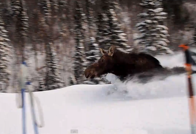 Trapped Moose Runs Past Skiers In Chest Deep Snow | This is Impressive!