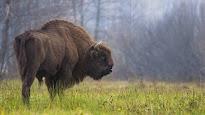 Polonia empieza la tala de uno de los pocos bosques vírgenes de Europa