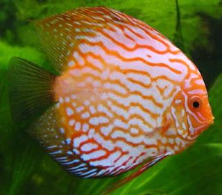 Ikan Hias Symphysodon