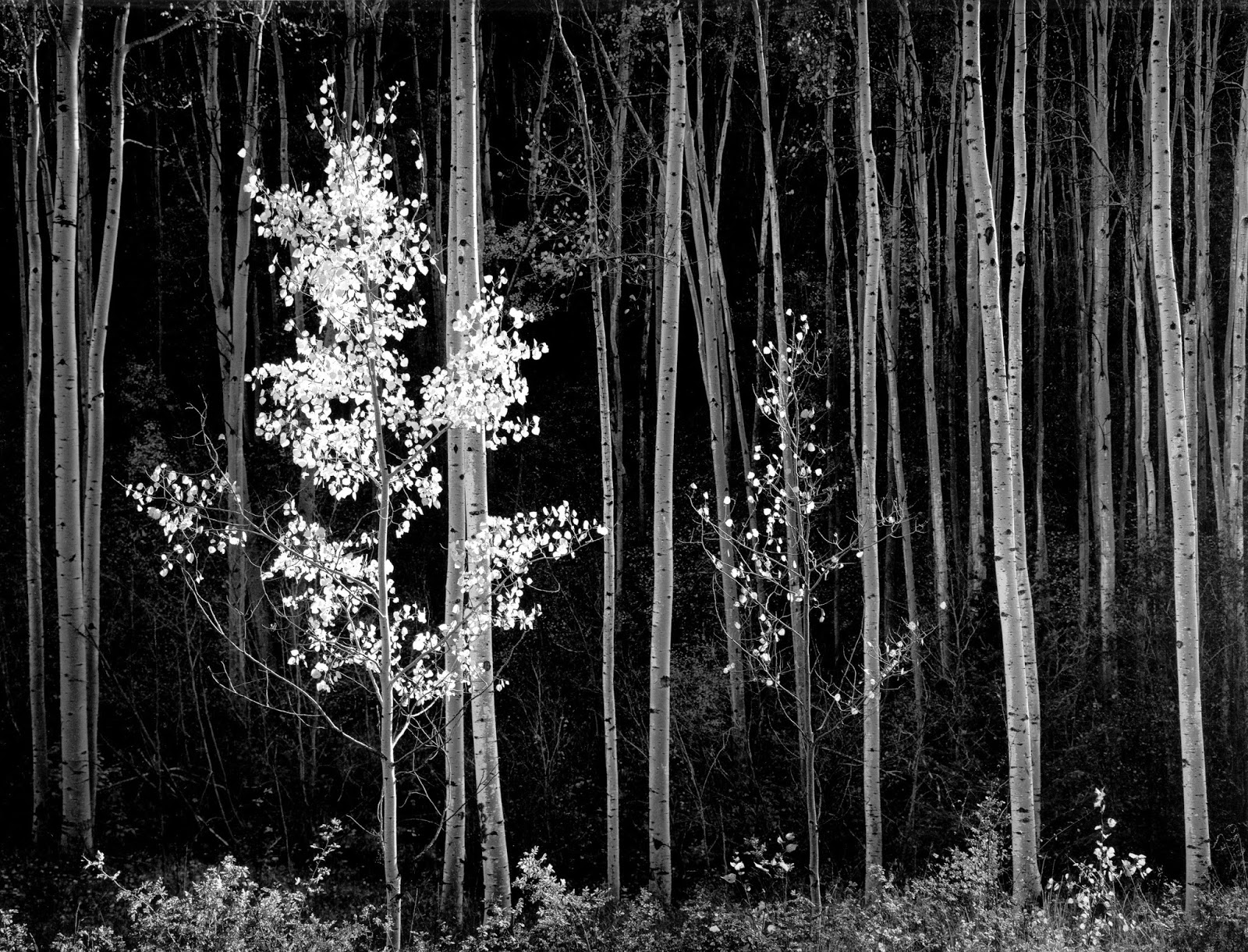 1958. Aspens, New Mexico. Ansel Adams