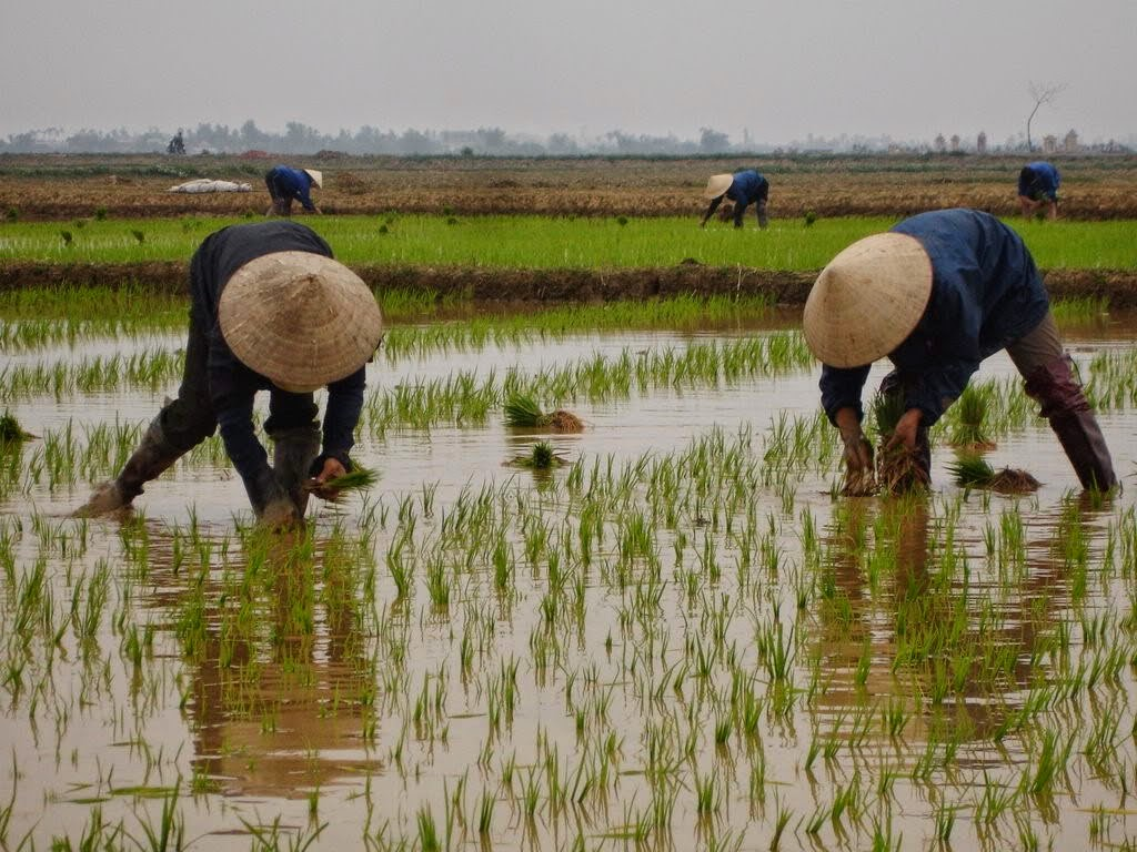 rice in vietnam Vietnam rice, vietnam rice suppliers and manufacturers directory - source a  large selection of rice products at rice milling machine ,rice cookers ,basmati.