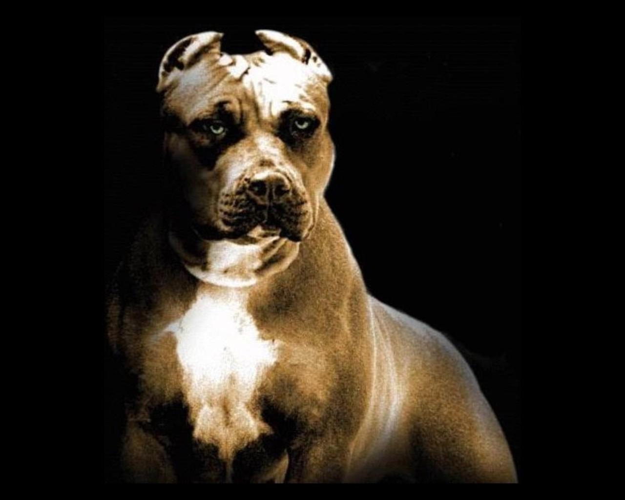 gambar anjing pitbull - gambar hewan - gambar anjing pitbull
