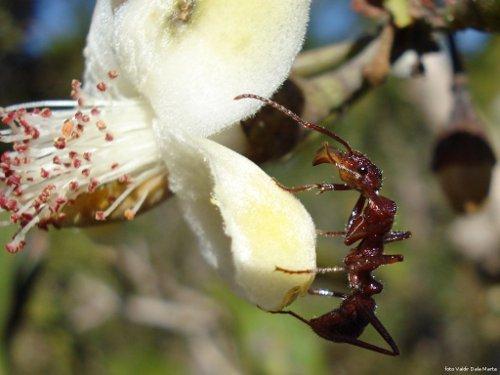 Formiga em dia de trabalho duro sobre uma flor branca