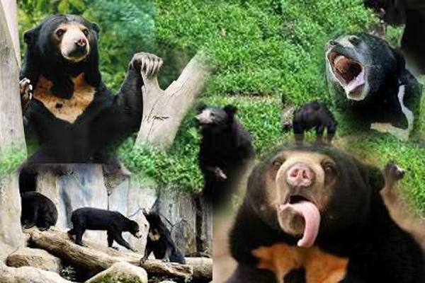 gambar beruang madu