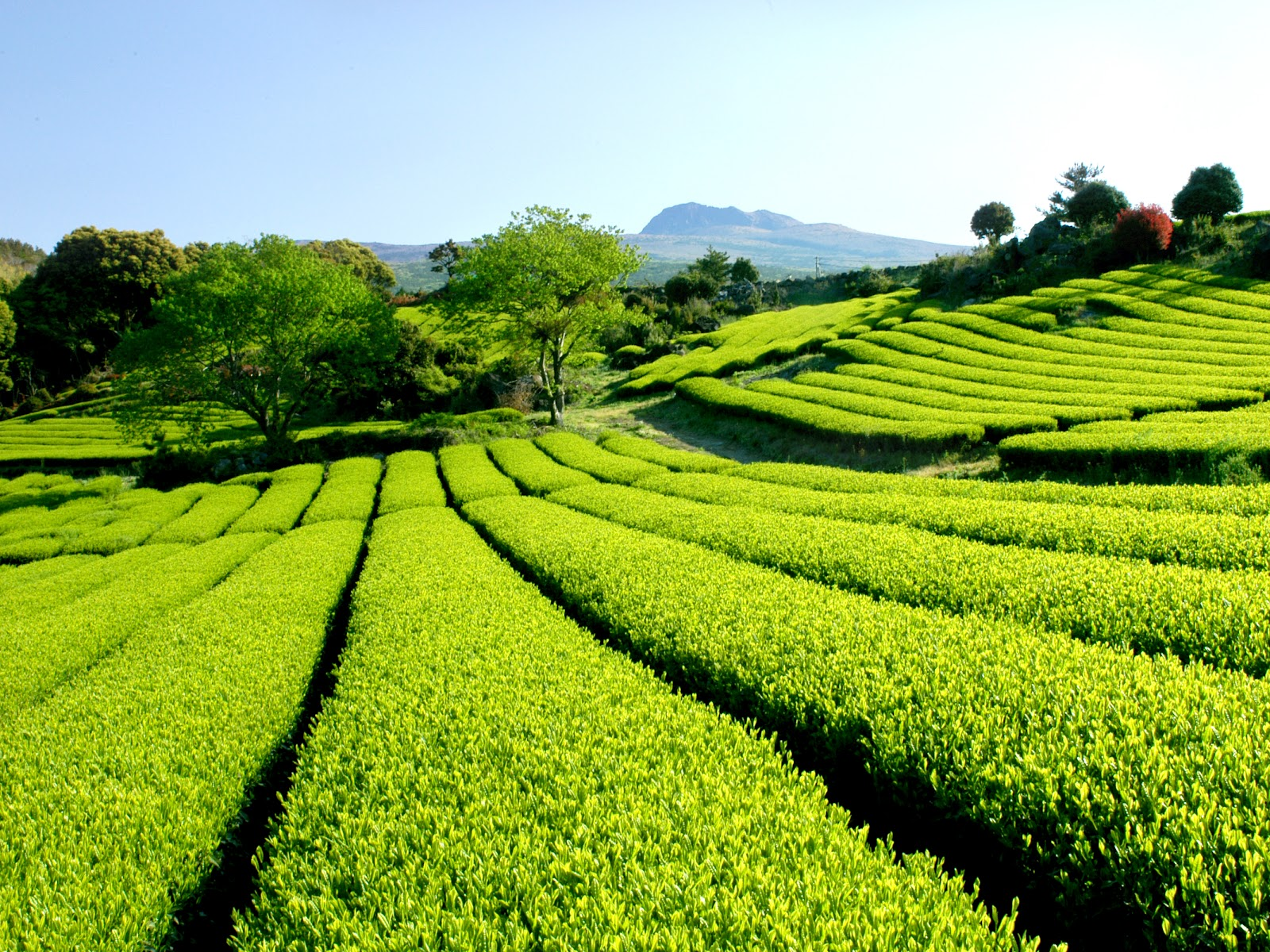 Korea Green Tea: Green tea farm in Jeju island
