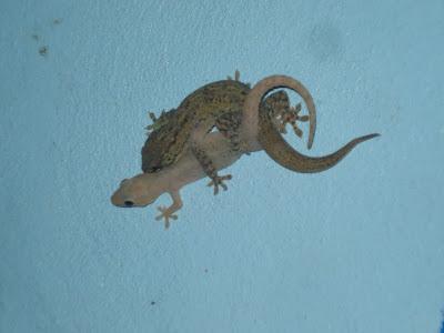 Geckos Nicaragua