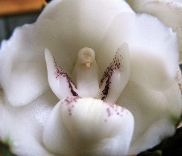 "Orchid ""Dove, or the Holy Spirit"" (Peristeria Elata)"
