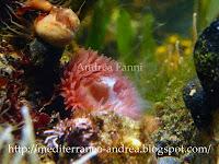 riproduzione actinia equina