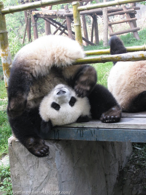 panda bears pictures 32