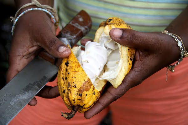 Manos  negras en el Cacao
