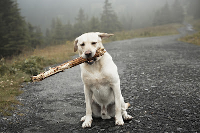 A yellow labrador sitting on a country road with a big stick in its mouth
