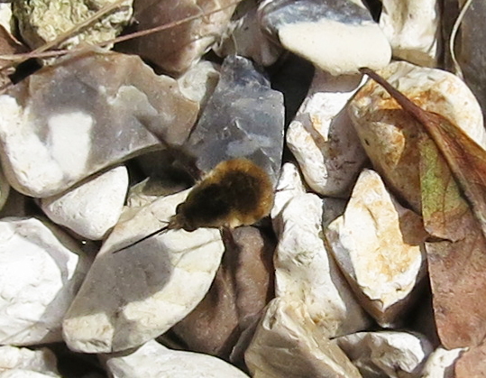 Bee fly. (Bombylius major)