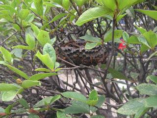 アシナガバチの画像 p1_19