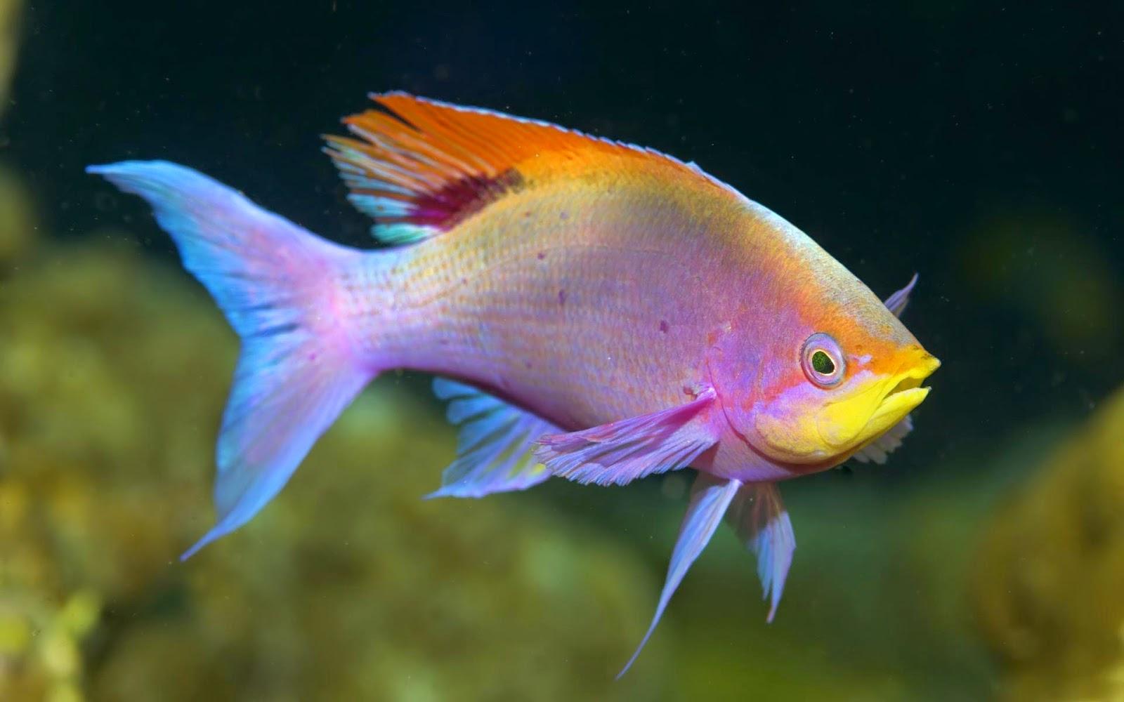 Caracteristicas de los peces de agua dulce peces wikipedia for Especies de peces
