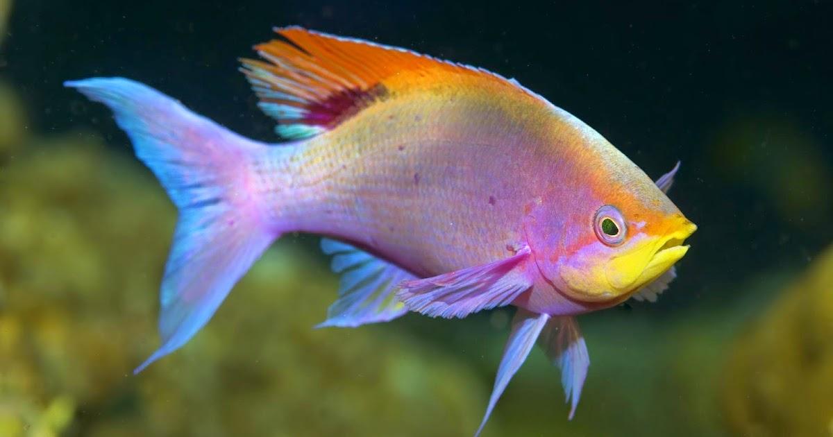 Caracteristicas de los peces de agua dulce peces wikipedia for Peces agua dulce