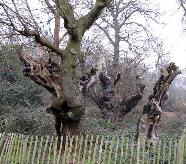 Veteran oaks on West Wickham Common in winter