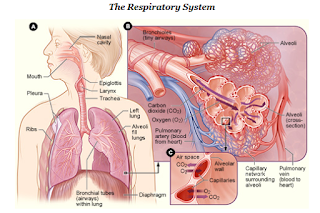 Essays On the Respiratory System