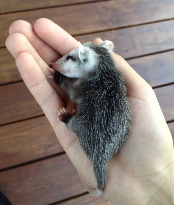 Funny animals of the week - 3 January 2014 (40 pics), cute baby possum sleeps in human hand