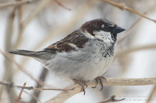Male House Sparrow. photo  © Shelley Banks, all rights reserved.