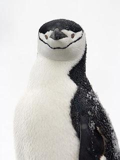 Foto Pinguin Lucu