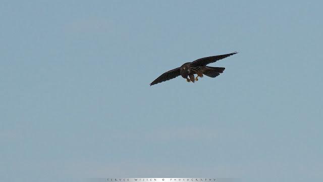 Boomvalk - Eurasian Hobby - Falco subbuteo