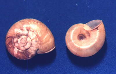 caracol disco canibal Mollusca Haplotrema concavum
