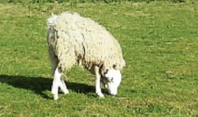 kambing biri-biri pelik