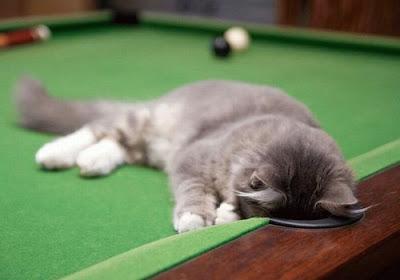 kucing tidur atas meja snooker