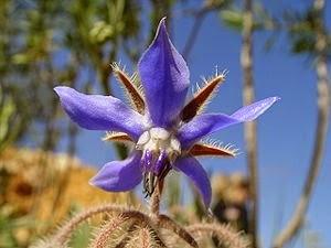 Blaue Borretschblüte