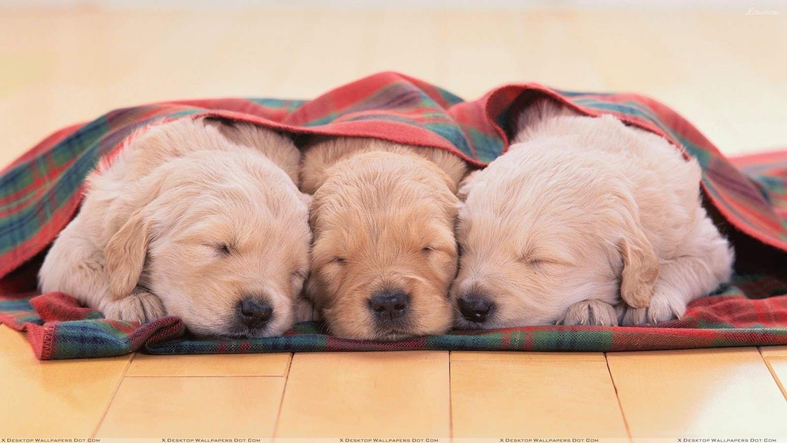 Waar bandnaam Three Dog Night voor staat - Cute Three Little White Puppies Sleeping