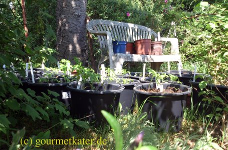 urban gardening Tomaten