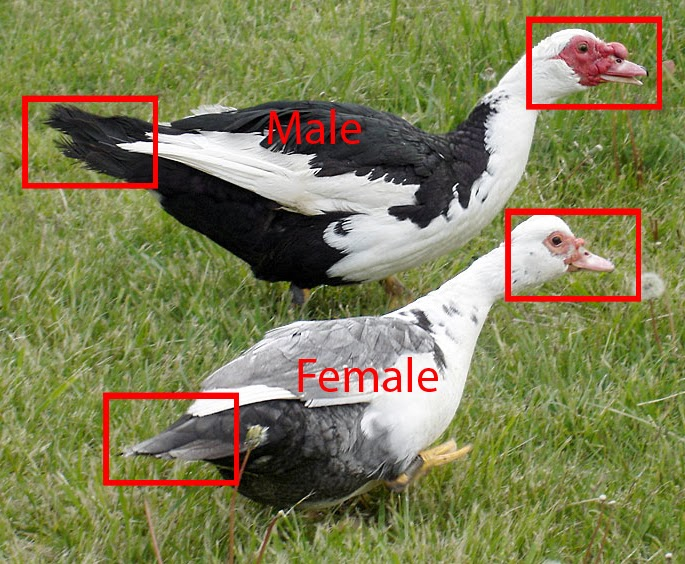 muscovy duck male and female differences bird information