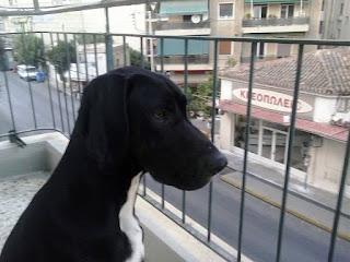 Χαθηκε από την περιοχη Αγιος Βασιλης Πειραια  μεγαλοσωμος μαυρος σκυλάκος με ασπρο στο λαιμο, στειρωμενος, με τσιπακι και φωσφοριζε κιτρινο κολαρο