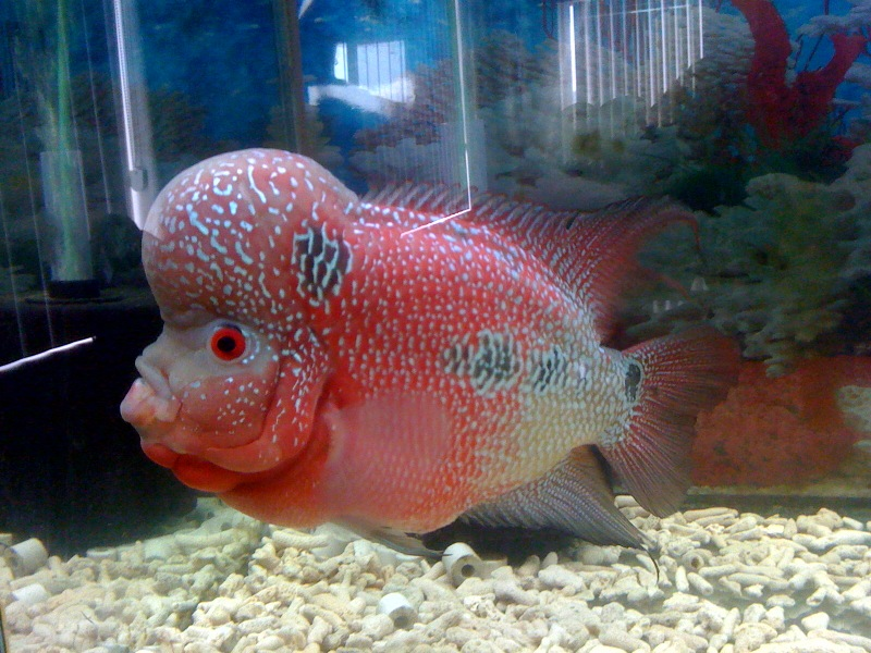 Flowerhorn The Hybrid Cichlids: Red Dragon Series