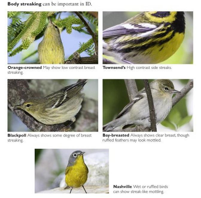 Warbler guide pdf