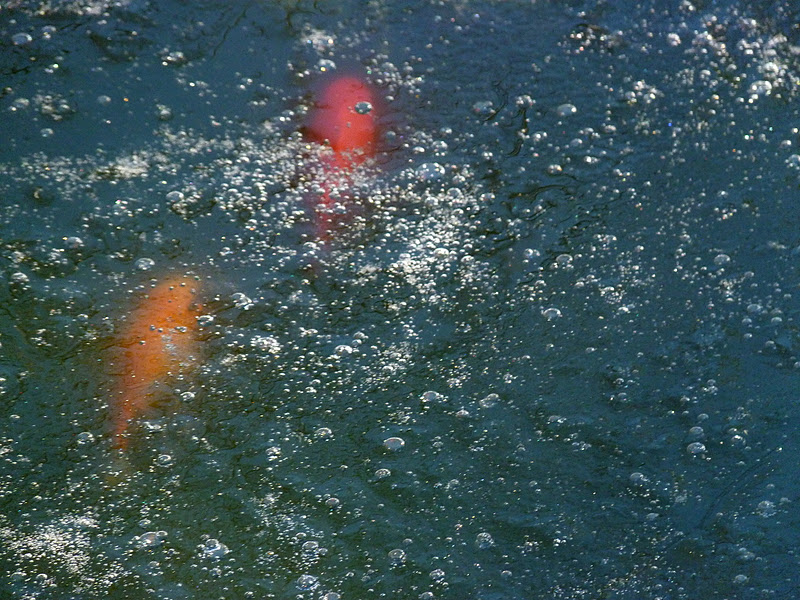 Iris e libellule 6 gennaio la vasca dei pesci surgelati for Vasca x pesci rossi