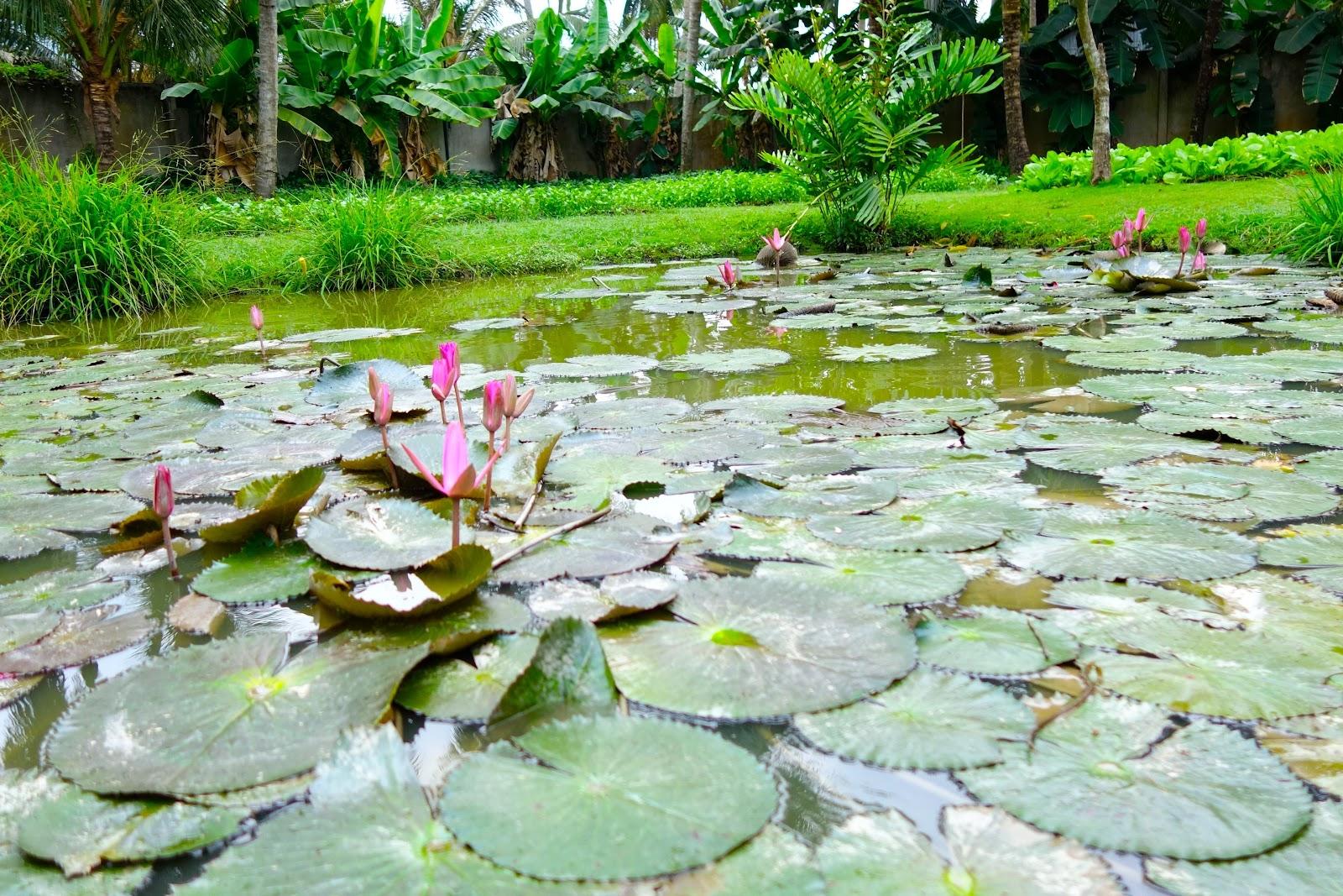 Lotus Pond Mekong Delta Vietnam 2015