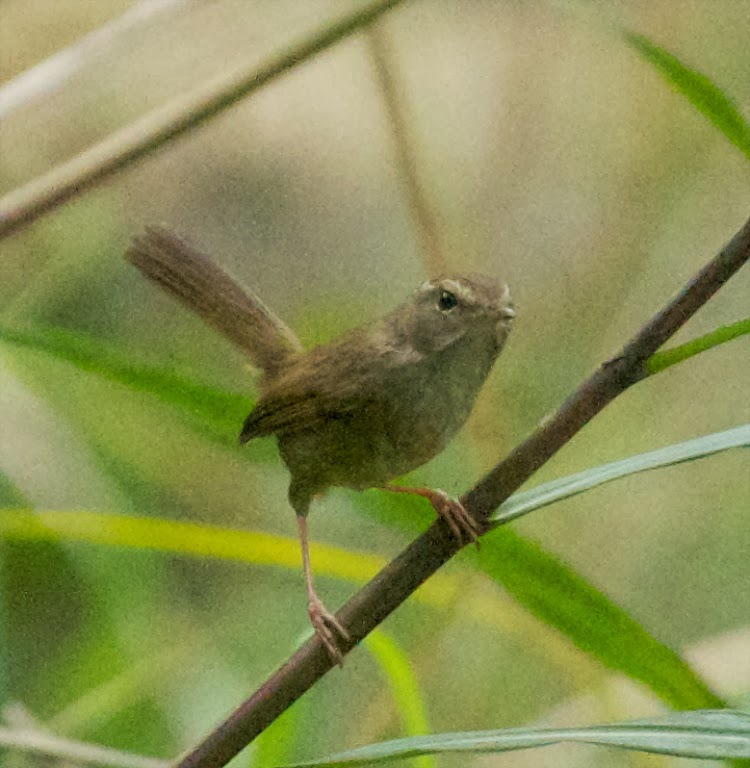 Brown-flanked [Strong-footed] Bush Warbler (Cettia fortipes robustipes)
