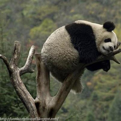 Panda sleep on the tree.