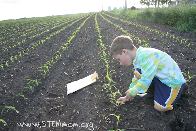 Boy bending down next to 1-week old corn spouts measuring with lego guys