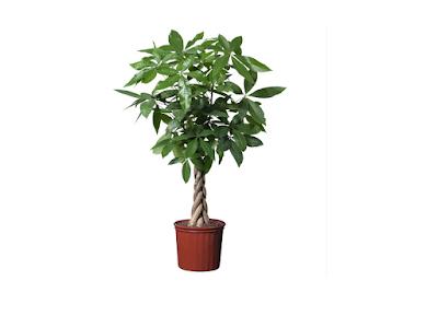 Các loại cây phong thủy trong nhà - Cây kim ngân