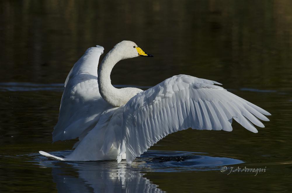 Cisne cantor, Cygnus cygnus, Whooper Swan