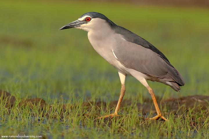 Laghetto di basiglio gli uccelli del laghetto di basiglio for Animali laghetto