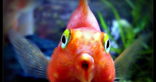 Suzy homefaker blood red parrot fish for Red parrot fish