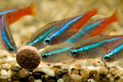 Neon Innesa - ryby akwariowe - zdjęcia 02