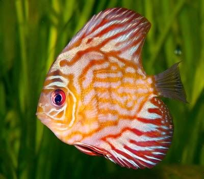 ikan hias air tawar discus