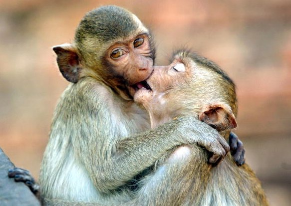 Monkey kissing